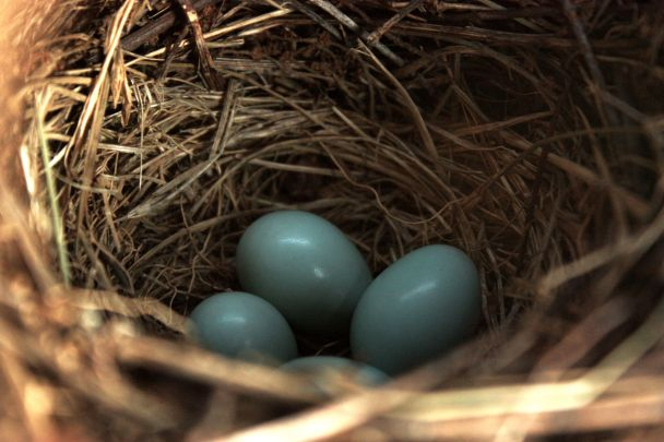 The nest was built and four small bluebird eggs were carefully laid.