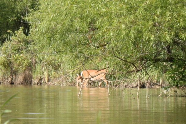 closer ... but missed the shot; doe & fawns climb ashore