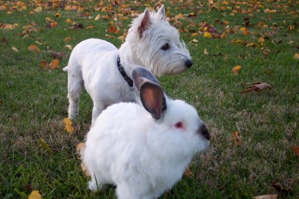 Snoopy the Wonder Bunny (Angora), and Molly the Wonder Mutt (Westie)