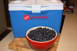 Thanks to the Xtracooler to help be bring the fresh berries home.
